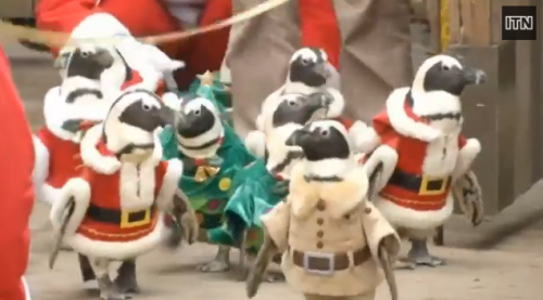 Cute: Penguins in Santa suits take a Christmas stroll