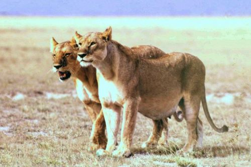African lioness (Photo Courtesy Wikipedia)