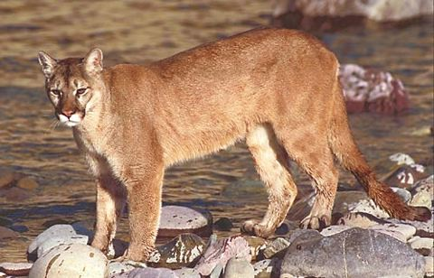 Cougar (Photo Courtesy Wikipedia)