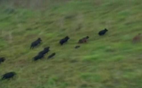 Wet weather causes wild hog invasion of Houston's suburbs