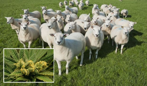 Farm manager Ms Budd said sheep had gone through seven bags of the plant by the time she found them (Picture: REX/Getty)